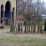 Жирафы в берлинском зоопарке