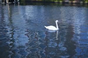 Лебеди в Амстердаме