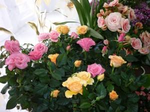 Розы расцвели