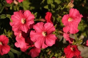 Алые цветочки