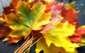 Листья кленовые, листья осенние