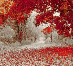 клены  в снегу