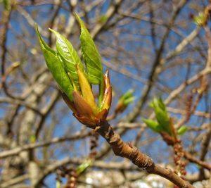 Первый зеленый листок