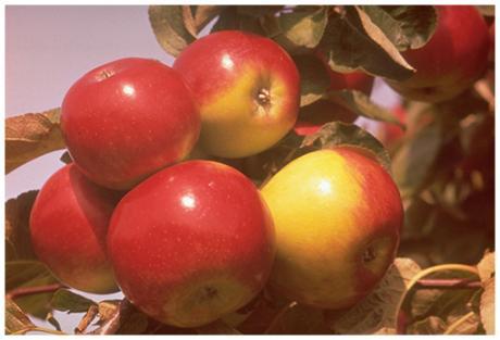 Яблочный спас.   C  праздником вас, православные!