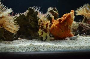 Рыба-камень и, кажется, рыба-огурец