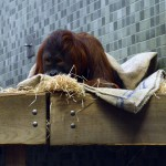 Орангутан в берлинском зоопарке