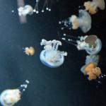 Медузы берлинского аквариума