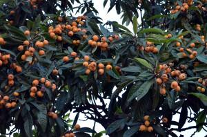 Верона - южный город, поэтому самые разнообразные фруктовые деревья здесь не редкость. На фото - мушмула.